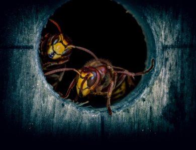 Comment exterminer les guêpes et les frelons et détruire leurs nids ?